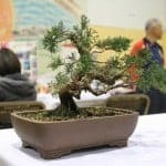 2012-Japanese-Cultural-Fair-Bonsai